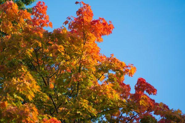 höstlöv på ett träd