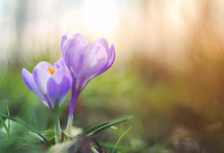 Bilden föreställer en blommande krokus.