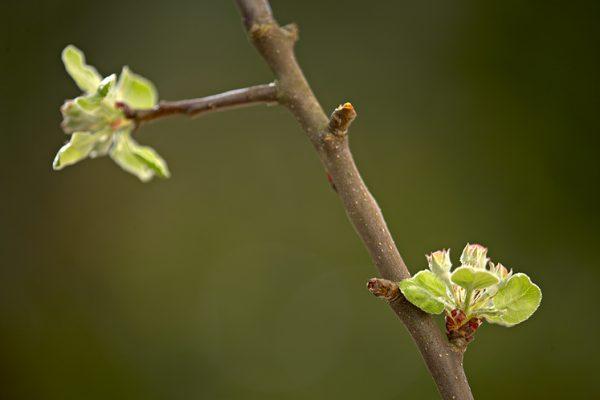 Knoppar på ett äppelträd